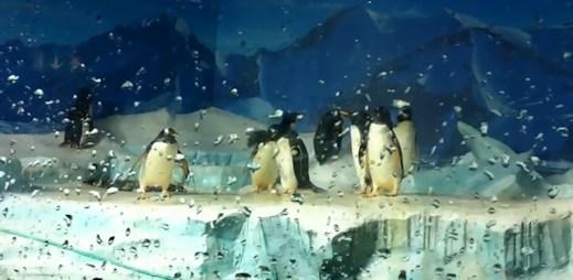 Homosexualita u tučňáků je běžná: Tučňačky Missy a Penelope jsou lesby